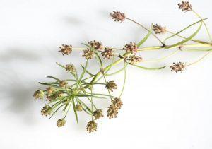 flohsamen-pflanze-300x211